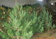 Новогодние елки оптом от 75 рублей